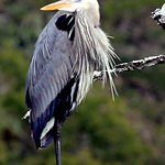 Great Blue Heron sited on property