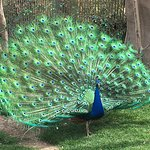Lots of peacocks showing off...