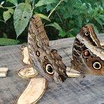Morfo butterflies in the butterfly garden