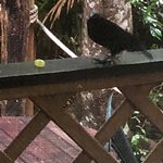 rifle bird looking for food