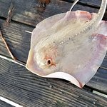 Small ray on squid