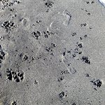 Just as many dog footprints as humans (if not more!)