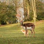 Antilope cervicapre mâle au Parc de Clères