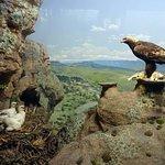 Bald Eagle diarama