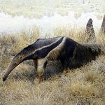 Anteater diarama