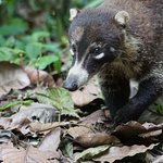 A coati in Soberania national park on the wildlife tour