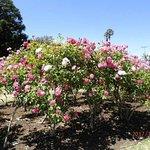 Parnell Rose Gardens Photo