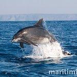 Tursiops truncatus (Bottlenose dolphin   Golfinho-roaz)