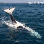 Orcinus orca (Orca)