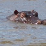 Hipópótamo