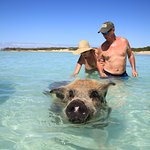 More swimming pigs. This guy was huge.