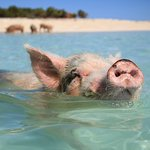 Just another pig swimming in the ocean