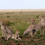 a place you can see diffence style of cheetah