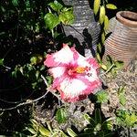 Exotic hibiscus