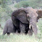Elephant, Ndutu Plains, 1.3.2018