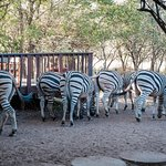 Zebras at the deck