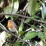 Robins around in the hedges