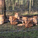 Lionesses in the naught section