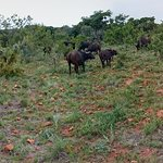 quite amazing to ride right to a buffalo herd