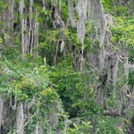 Trees with Spanish moss... photo copyright please ask for copy
