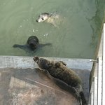 Seal pups in one of the nursery pools