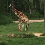 Giraffes in the African section.