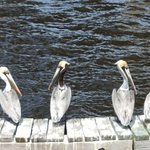 Pelicans during our cruise of the harbor