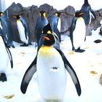 Ho visto per la prima volta i pinguini reali durante la mia visita all'acquario di Melbourne.