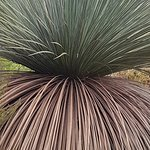 Xantherus - Yacca Gum - just a beautiful form and an amazing history to be discovered