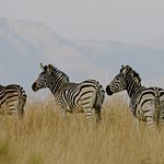 Zebra on the reserve