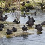 Scaup, and lots of them