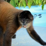 Spider monkey on little island in lake Nicaragua