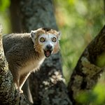 Crowned Lemur in Lemur Loop
