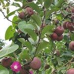 platação de maçã no caminho