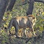 Lion trail