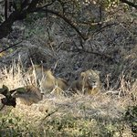 2 lions at Gir