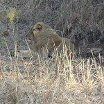 Lion taking rest