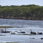 Swans on the Pieman River