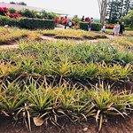 Photo of Dole Plantation