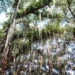 Banyon tree Lahaina