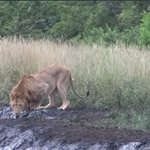 Lion drinks water while Baboons alarm call from the trees