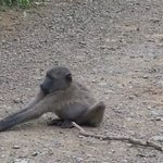 Baboon doing his morning Yoga with a Beer bottle