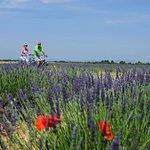 Les champs de lavande de la Provence