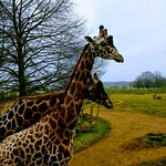Giraffes at The Cotswold Wildlife Park
