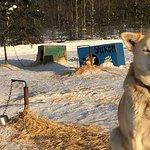 More 140 dogs Husky !!!
