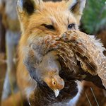 Red fox with partridge