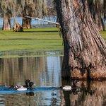 Swiming ducks in swamp