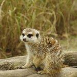Meerkats ... need I say more?