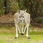 The kangaroo habitat is walk-through for a more closeup experience.