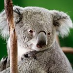 It's a treat when the koalas wake up and look at you. Still a great exhibit.